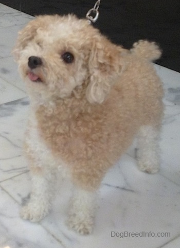 The front left side of a little tan with white Toy Poodle dog standing across a marble tiled surface, it is looking up, to the left and its tongue is sticking out of its mouth. It has wide round dark eyes and a black nose.