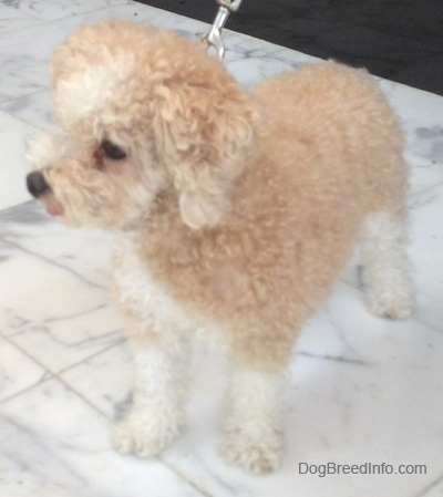 The front left side of a thick-coated, small tan with white Toy Poodle dog standing across a marble tiled surface and it is looking to the left.