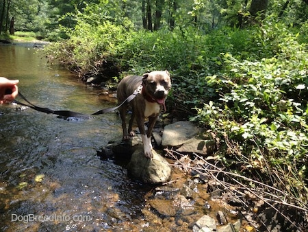 Spencer the Pit Bull Terrier standing on rocks in the stream