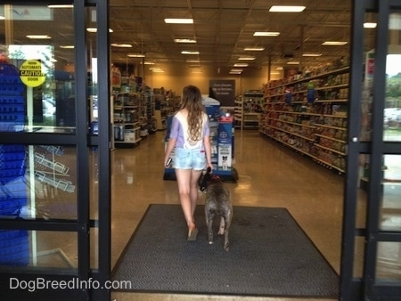 The back of a blue-nose brindle Pit Bull Terrier and a girl are inside of a store.