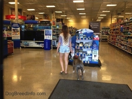 The back of a blue-nose brindle Pit Bull Terrier and a girl are walking towards a stack of boxes inside of a store