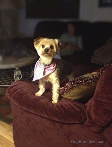 A tan dog is wearing a bandana and is standing on the arm of a couch