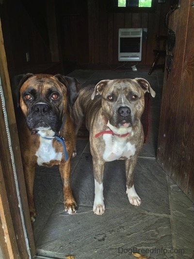 A brown brindle with white Boxer and a blue-nose brindle Pit Bull Terrier are waiting in a doorway