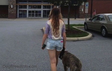 The back of a blue-nose Pit Bull Terrier and a girl are walking towards a building.