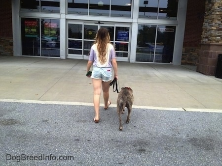The back of a blue-nose brindle Pit Bull Terrier and a girl are walking up a walkway to a building.