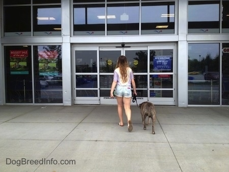 The back of a blue-nose brindle Pit Bull Terrier and a girl are walking towards the doors of a store.