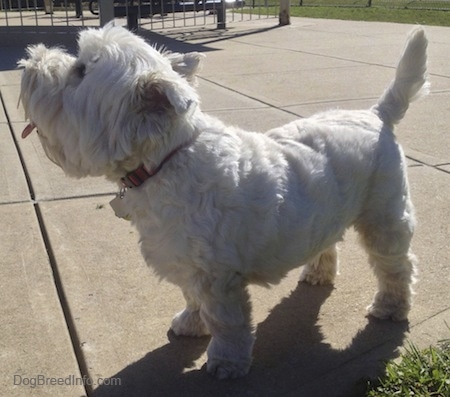 The left side of a West Highland White Terrier dog standing across a concrete surface, it is looking up and it is panting. Its tail is up.