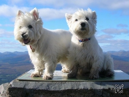 Two West Highland White Terriers are on top of a rock. One is looking down with its mouth open and the other one is sitting and looking up. There is a view of a blue sky and a valley behind them.