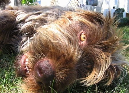 Close up - A white with brown and black Wirehaired Pointing Griffon is laying down on its left side looking forward. It has yellow eyes, a brown nose, white teeth and long hair on its head.