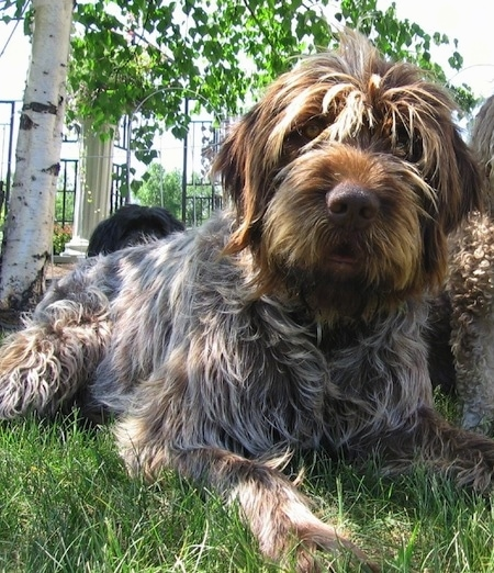A medium-haired, wavy-coated, white with brown and black Wirehaired Pointing Griffon is laying across grass outside and it is looking forward. There are other Wirehaired Pointing Griffons behind it. The dog has a brown nose, yellow eyes and hair that hangs over its eyes.