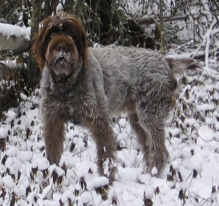 The left side of a white with brown and black Wirehaired Pointing Griffon dog standing across a snowy hill, it is looking forward and it has snow over its mouth. It has a docked tail that is standing level with its body and its eyes are wide open with long hair around them.