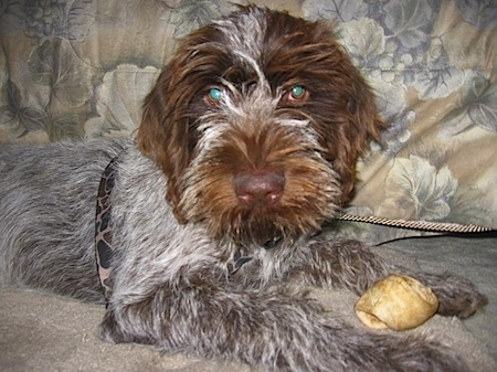 A white with brown and black Wirehaired Pointing Griffon puppy is laying across a tan carpet looking forward. There is a rawhide bone in between its front paws. The dog has a brown nose and glowing green eyes.