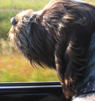 Close up side view - A brown with white and black Wirehaired Pointing Griffon puppy sticking its head out of the window of a moving car with its fur blowing back.