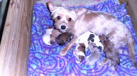 A Torkie dog laying in a whelping box and nursing a litter of puppies. The mother dog is light tan with perk ears that are set wide apart and big round black eyes. She has longer hair around her eyes and the puppies are all different colors including white, tan, black and white, white and tan, gray and tan.
