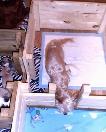 A tan Yorkie mother dog is walking through a door in a wooden whelping box with her puppies in the section next to her.