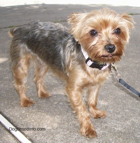 The front right side of a tan and black Yorkie that is standing on a sidewalk. Its ears are back and its tail is low. It has wide round eyes and a black nose.