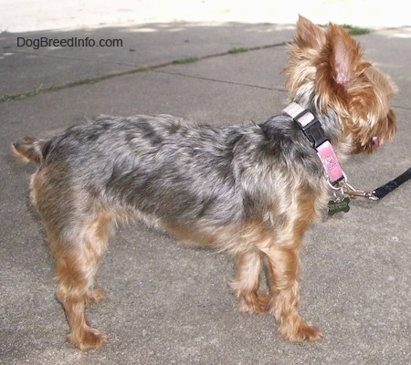 The right side of a brown and black Yorkie that is standing across a concrete surface, it is wearing a pink collar and it is looking to the right. It has a small docked tail.