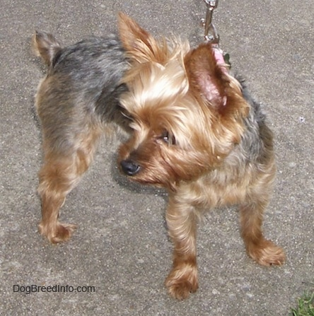 The front right side of a small, soft-looking, black and brown Yorkshire Terrier that is standing across a concrete sidewalk. The Yorkie is looking to the left. It has large perk ears and a small docked short tail.