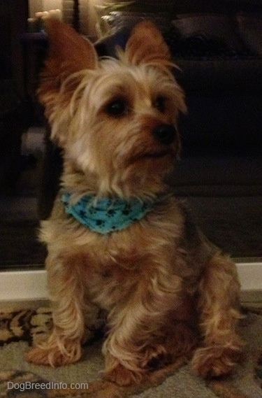A tan, cream with gray Yorkshire Terrier dog sitting on a rug wearing a blue bandana and it is looking to the right.