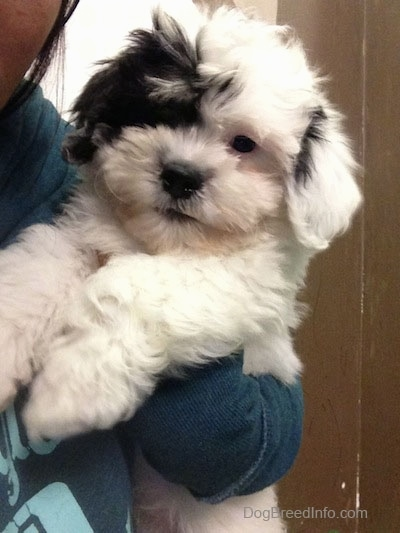 Close up - A thick coated, soft looking, white with black Zuchon puppy being held in the air against a persons side. It looks like a stuffed toy.