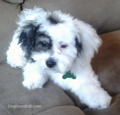 Teddy Bear Puppies Black And White Bandit the zuchon puppy at 5