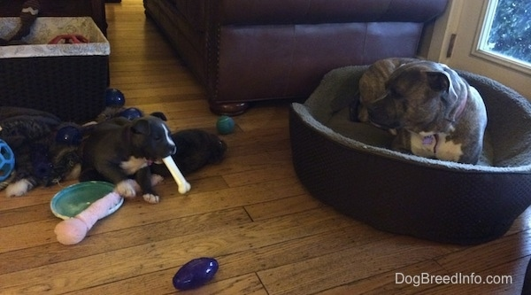 A brindle with white Pit Bull Terrier is laying in a dog bed and it is looking at a black with white American Bully puppy chew on a dog bone.