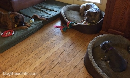 A brown brindle with white Boxer is laying on an orthopedic bed. A brindle with white Pit Bull Terrier and a black with white American Bully puppy are laying in dog beds