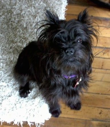 Affenpinscher sitting on a fluffy dog bed which is on a hardwood floor
