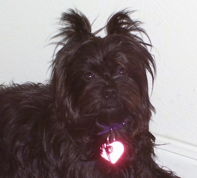 The right side of a black Affenpinscher that is wearing a heart dog tag and it is sitting against a white wall