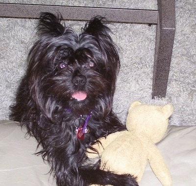 A black Affenpinscher is standing up against a couch with teddy bear
