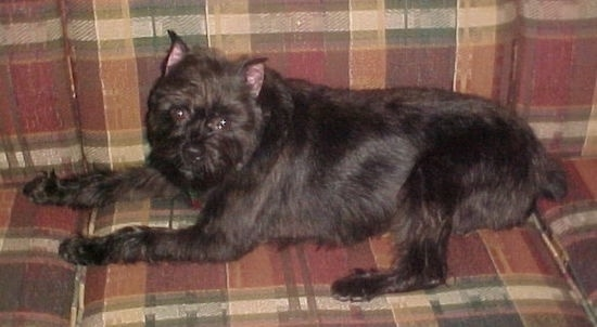 The left side of a black Affenpinscher that is laying across a couch