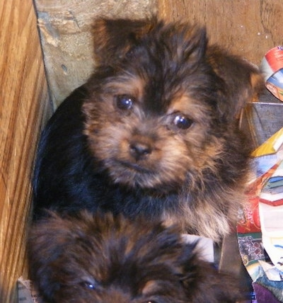 Top down view of a black with brown Affenshire puppy laying in the corner of a wooden box and it is looking up. The dog looks like an Ewok with small fold over ears, round dark eyes, and a small nose with black lips.