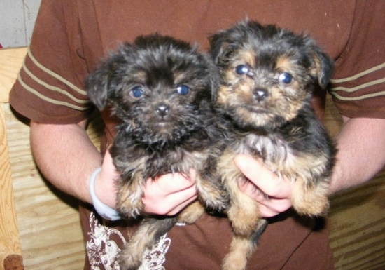 Two fuzzy Affenshire puppies are being held against the chest and in the air by a person in a brown shirt. The dog's look like little monkeys.