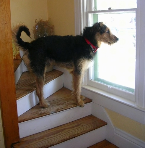 The right side of a black with tan Airedale Shepherd that is standing on stairs and it is looking out a window. It has small ears that fold out to the sides, a long tail that curls up in a C, a long muzzle, a black nose, a red collar and tall legs with wiry looking fur.