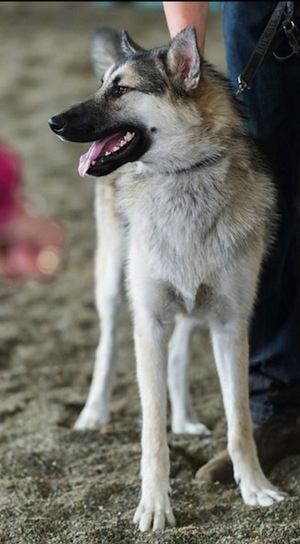 Alaskan Shepherd Dog Breed Information and Pictures