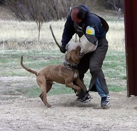 The right side of a brown with white American Bandogge Mastiff that is attacking a foam pad on a persons arm for Schutzhund training