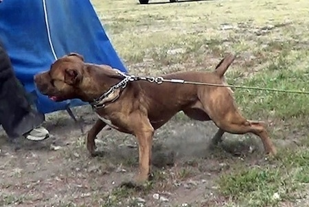 The left side of a tan with white American Bandogge Mastiff that is pulling hard on a leash towards a person