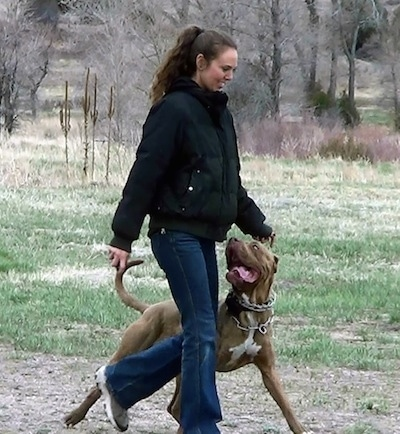 The front right side of a brown with white American Bandogge Mastiff that is walking across a dirt path with a lady