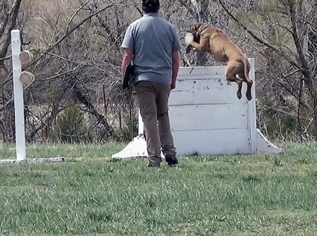 The back left side of a brown with white American Bandogge Mastiff jumping over a wall for Schutzhund training