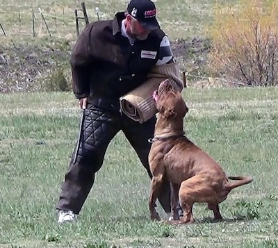 The back left side of a brown with white American Bandogge Mastiff that is biting a foam pad over a persons arm for Schutzhund training