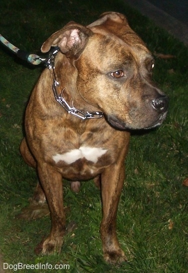 A brindle with white American Bull Staffy is sitting on grass at night and it is looking to the right.