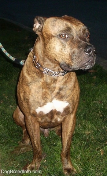 A brindle with white American Bull Staffy is sitting on grass at night with its ears back. Its head is turned to the right, but it is looking forward.