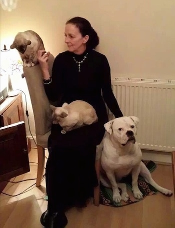 Belle the American Bulldog sitting next to a lady in a living room with two cats on her