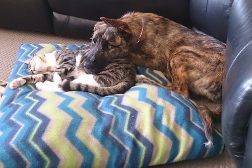 The left side of a brindle American Bulldog Shepherd people that has its head laying on a cat and they both are on a pillow