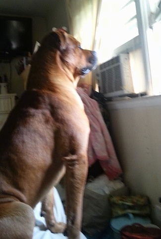 The right side of a red with white American Bullweiler that is sitting on a bed and it is looking out of a window.