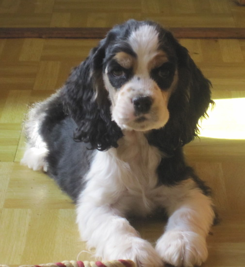 The front right side of a white with black and tan American Cocker Spaniel puppy that is laying on a tiled floor. There is a rope toy in front of it.