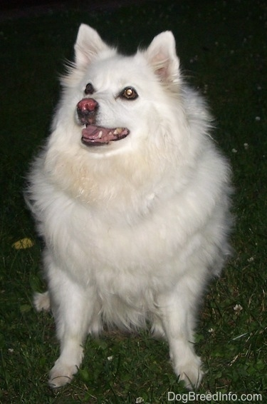 Nanuk the American Eskimo sitting on grass with its mouth open