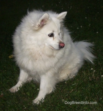 Nanuk the American Eskimo sitting on grass looking to the right