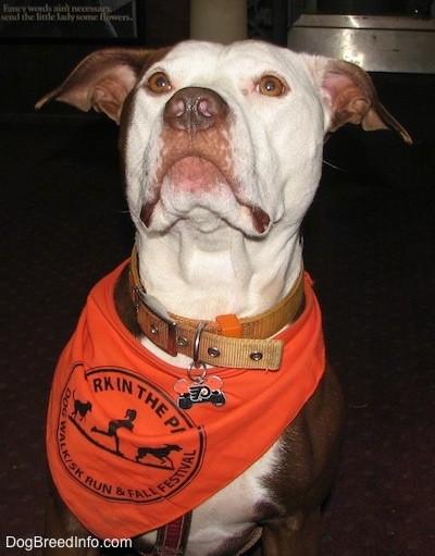 Close up - A red with white American Pit Bull Terrier is wearing a bandana and it has on a  Philadelphia Flyers Dog Tag.