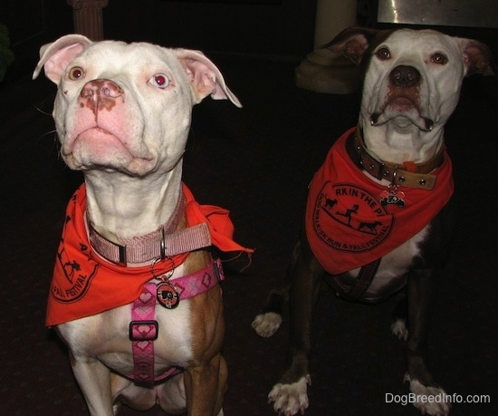Two American Pitbulls are sitting in a room wearing bandanas and they are looking up.
